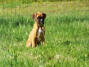 Delta, the Boxer puppy