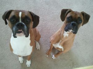 Boxers Dash and Delta are waiting for their treats.