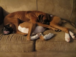 Boxers Delta and Dash cuddle awkwardly.