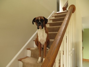 Dash the Boxer sitting on the stairs