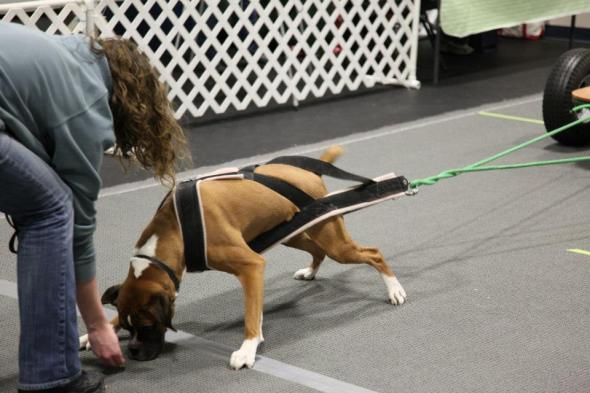 Dash the Boxer leans into his harness to pull a cart.