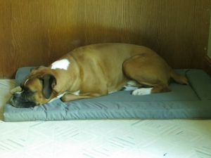 Dash the Boxer relaxes on his dog bed