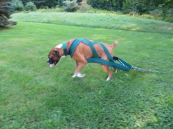 Dash the boxer pulling chains