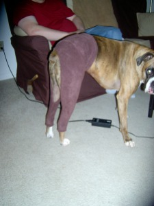Boxer dog in leg warmers