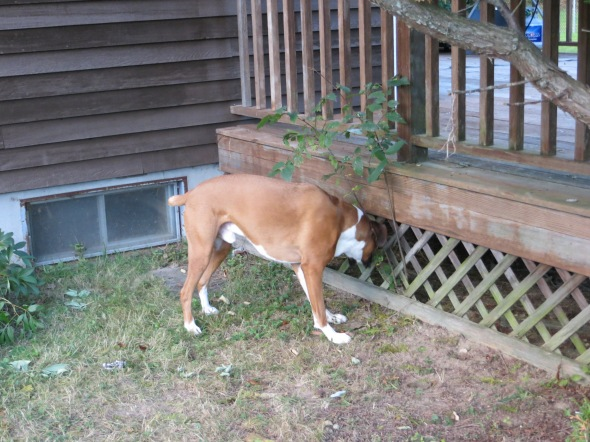 Dash took a break from playing to eat the rough sapling by the deck.